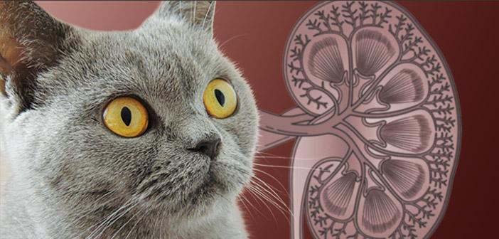 Claves del pronóstico de la enfermedad renal crónica felina