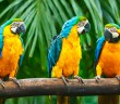 Las psitácidas son aves con complejas relaciones sociales.