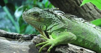 La hibernación en los reptiles - Iguana. (Foto: meiksbar - CC0 1.0 )