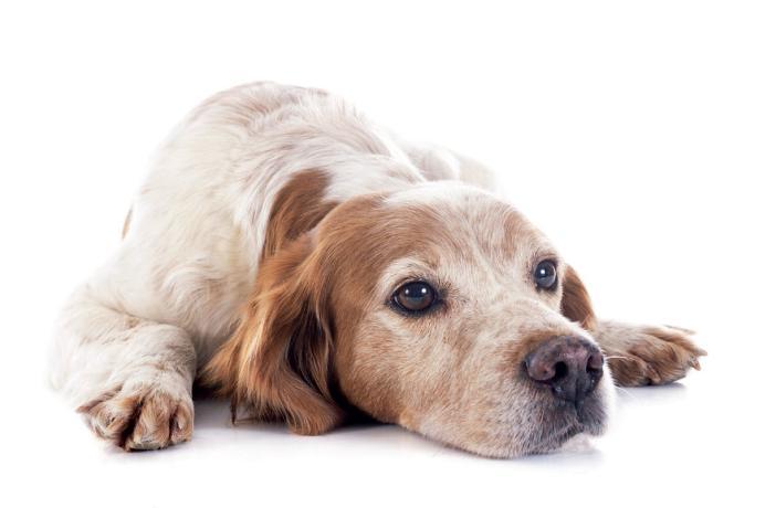 Tratamiento y prevención de la leishmaniosis canina