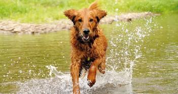 Limpieza de oidos perro