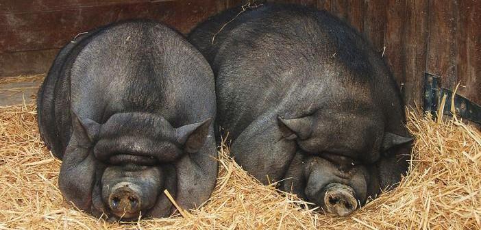 Técnicas veterinarias básicas en el cerdo vietnamita