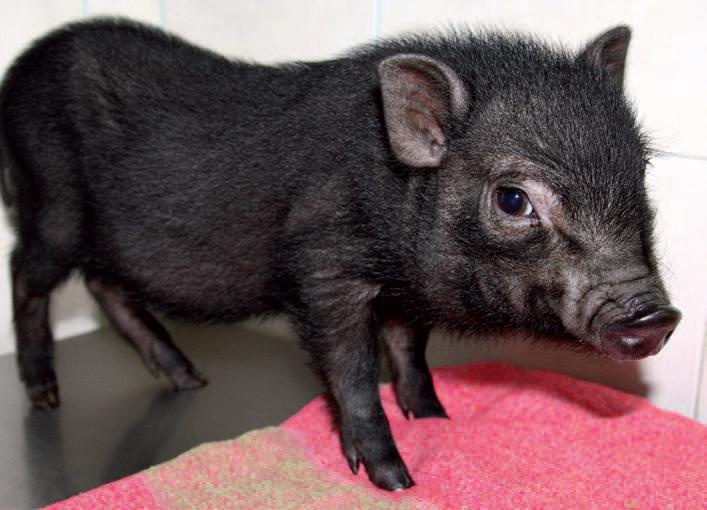 Cerdo vietnamita de 2 meses. (Foto: Chema López)