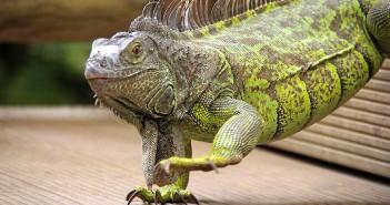 Manejo de la iguana en la consulta veterinaria.