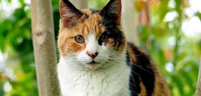 ¿Es cierto que todos los gatos calicó son hembras?