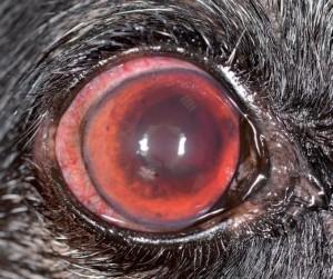 Uveítis asociada a Leptospira.