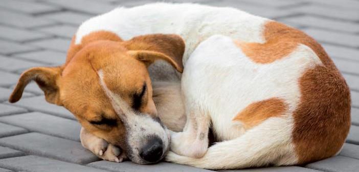Control de la leptospirosis canina en Europa