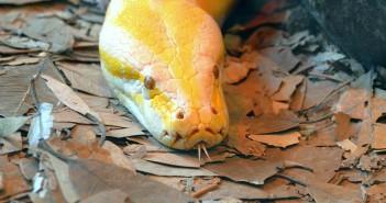 ¿Existen las serpientes devoradoras de hombres?