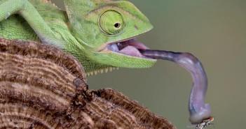 La alimentación del camaleón