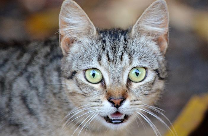 problemas urinarios en gatos machos