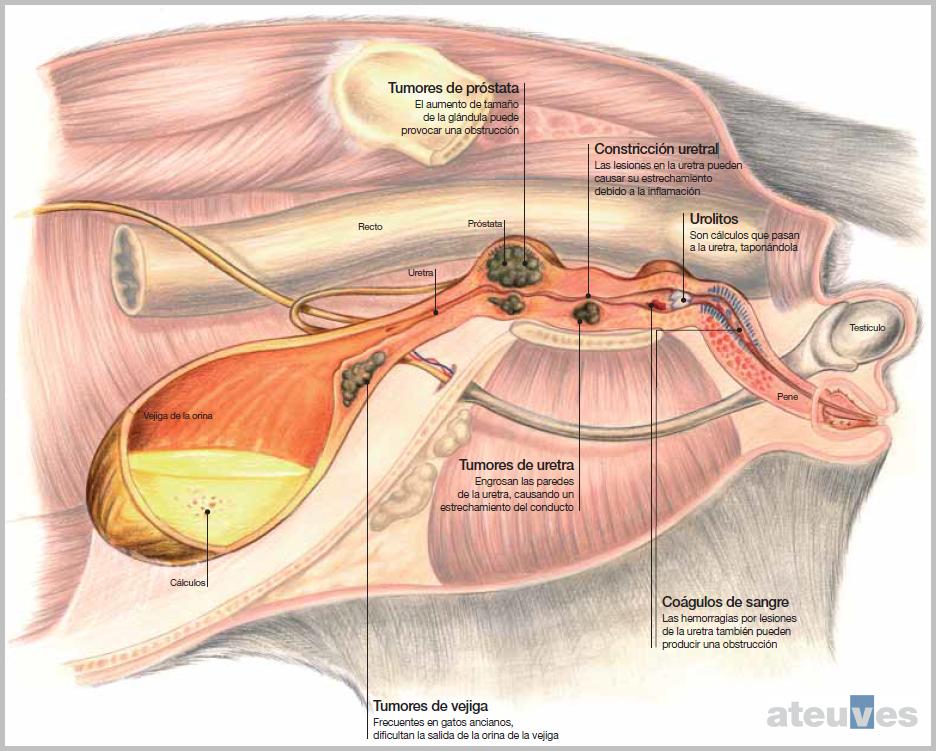 Enfermedades del tracto urinario inferior en el gato (FLUTD ...