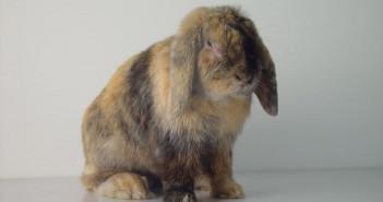Zoonosis en conejos