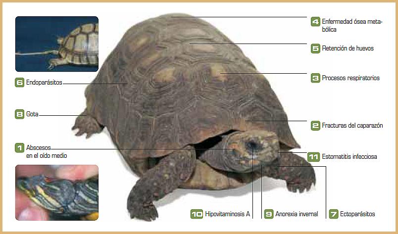 Enfermedades de las tortugas más frecuentes