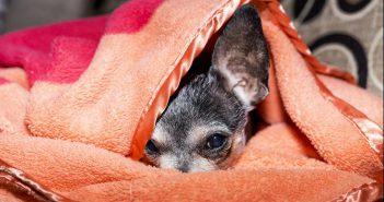 Fluralaner para tratar Babesia canis