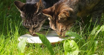 ¿Pueden beber los gatos leche cuando son adultos?