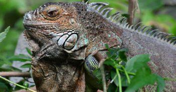 Las enfermedades de la iguana más habituales