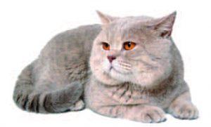 Cómo reconocer el dolor en gatos