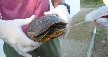 Salmonella en tortugas (Foto: Universidad CEU Cardenal Herrera )