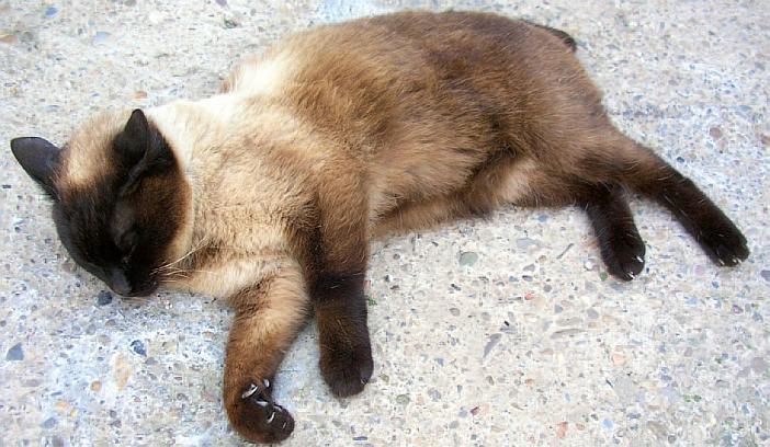 Artrosis en gatos foto 2