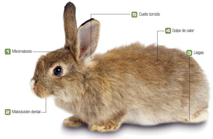 Las cinco principales patologías del conejo que debes conocer