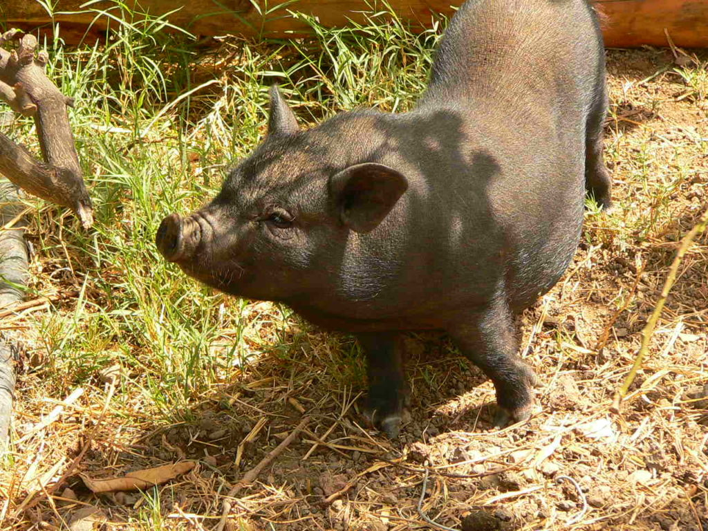 Animales exóticos: cerdo vietnamita