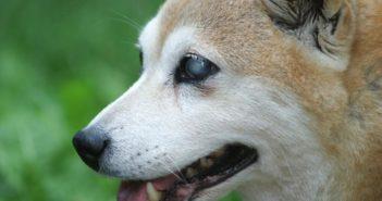 Causas de ceguera en perros adultos más habituales