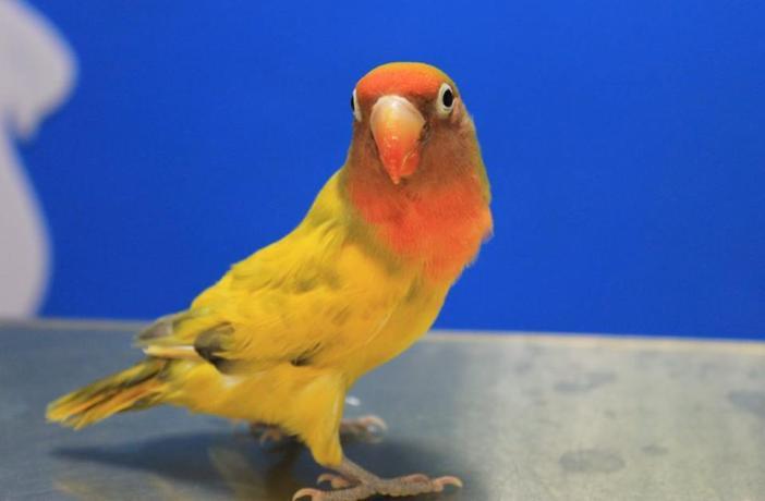 Puesta crónica de huevos en aves: ¿qué es, cómo se previene y cómo se trata?