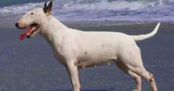 Factores desencadenantes y síntomas de la piometra canina