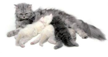 Alteraciones del ciclo estral en la perra y en la gata