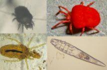 Ectoparásitos: cheiletielosis, trombiculosis, straelensiosis y demodicosis