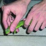 Manejo básico de lagartos y similares