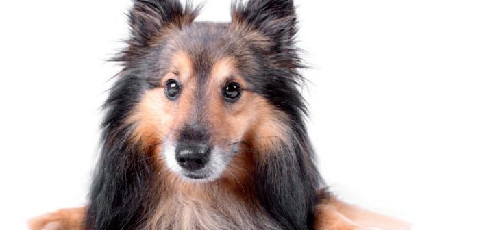 Necesidades en la nutrición de perros con enfermedad hepática