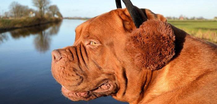 Otitis canina: ¿qué factores predisponentes hacen que aparezca?