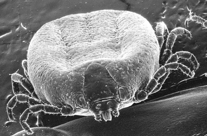 Dermatosis parasitarias caninas y felinas por garrapatas y pulgas