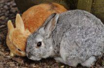 Problemas digestivos en conejos: íleo paralítico