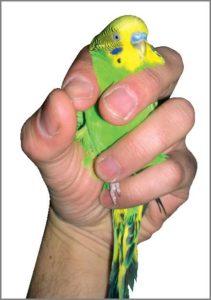 Manejo de las aves en la clínica veterinaria: aves pequeñas