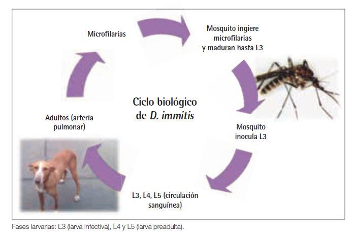 Distribución y ciclo biológico de Dirofilaria immitis