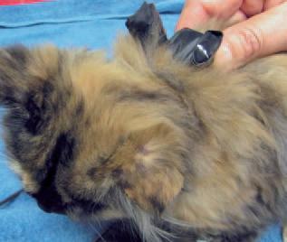 Cómo posicionar al gato para el registro ECG