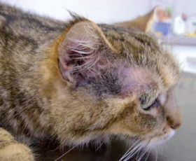 Presentaciones clínicas de la alergia felina