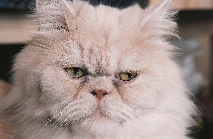Algunas patologías del Gato Persa