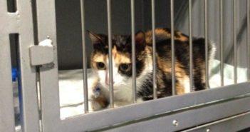 Manejo del estrés felino en el desplazamiento al veterinario