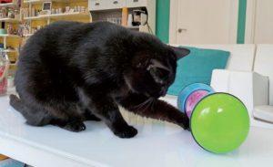 Cómo calcular los requerimientos energéticos diarios en gatos