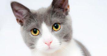 Epidemiología y patogenia de la inmunodeficiencia felina