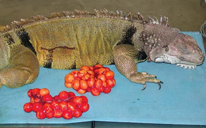 Patologías de la iguana