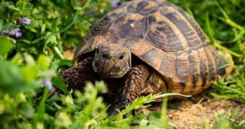 Alimentación tortugas terrestres