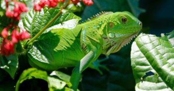 Transfusiones en reptiles