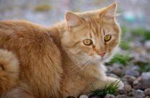 La nutrición del gato cardiópata