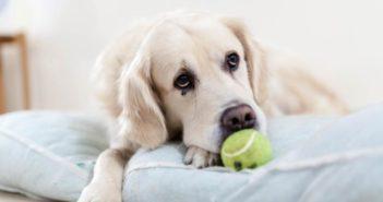 Por qué los perros ponen ojitos tristes