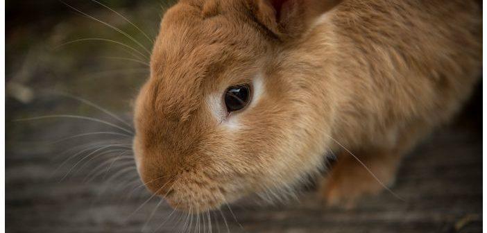 Patógenos implicados en el síndrome vestibular en conejos