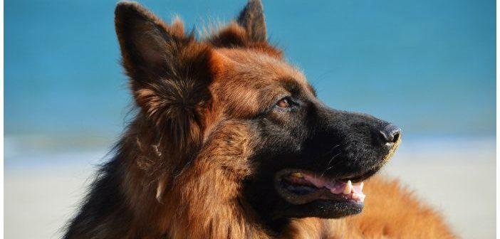 Lesiones y diagnóstico del pioderma mucocutáneo canino